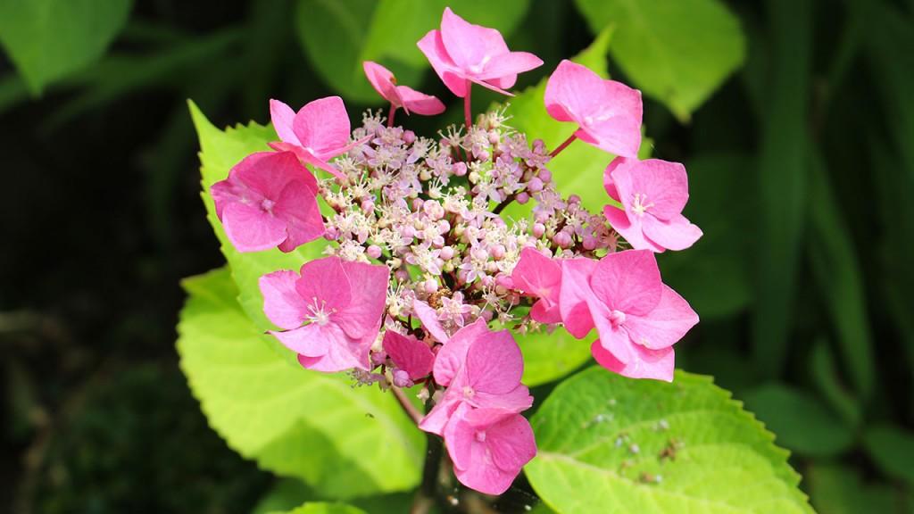 Hortensia jardin Rennes