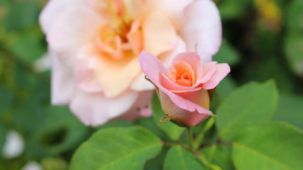 Rose jardin Rennes